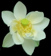 picture of lotus